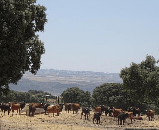 San Isidro, el toro en el campo.